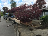 The Maple is about 35 years old...